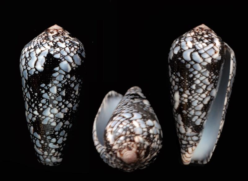 Conus (Darioconus) pennaceus   Born, 1778 Dsc_4211