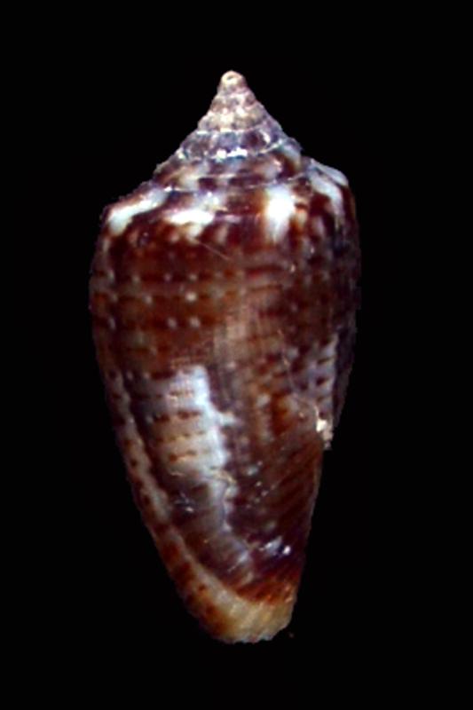 Gastridium cuvieri (Crosse, 1858) Dsc_4223