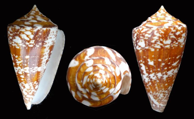 Conus (Leptoconus) amadis   Gmelin, 1791 Dscn5312