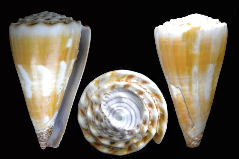 Conus distans Hwass in Bruguière, 1792 Dscn5313