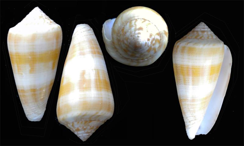 Conus (Pionoconus) daullei (Crosse, 1858) voir Conus (Pionoconus) consors Dscn5410