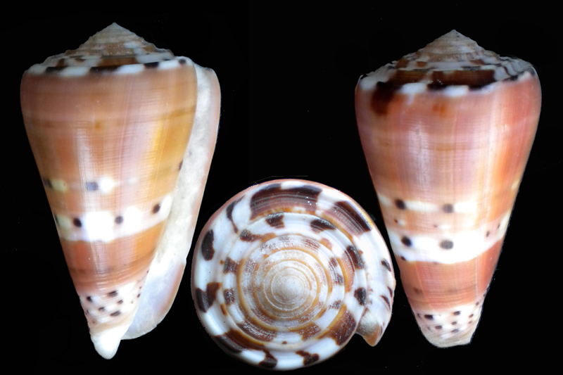 Conus (Pionoconus) barthelemyi  Bernardi, 1861 - Page 7 Dscn5412