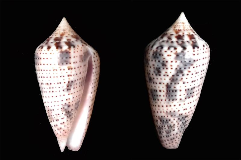 Conasprella (Ximeniconus) ximenes (Gray, 1839) Dscn5810