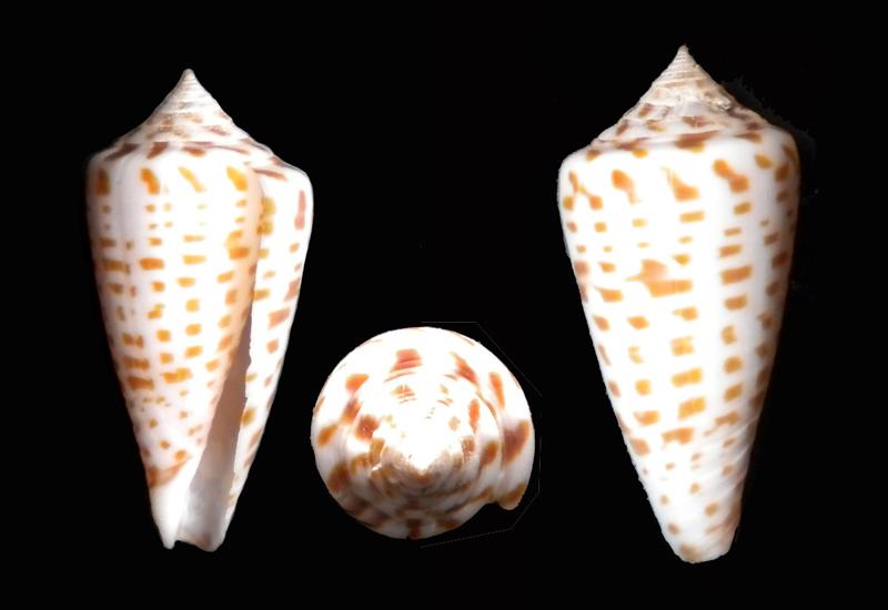 Conus (Phasmoconus) inscriptus  Reeve, 1845 - Page 2 Dscn5811