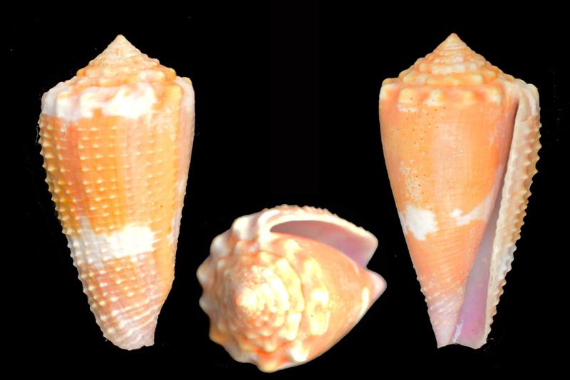 Conus (Phasmoconus) exiguus optimus Sowerby III, 1913 voir Conus (Ph) exiguus Ident-15