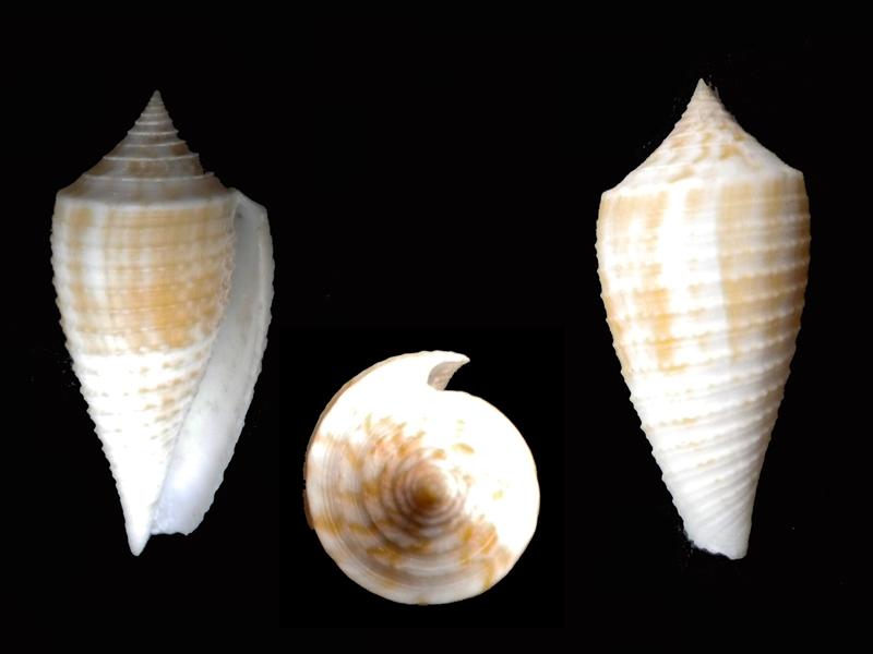 Conus (Phasmoconus) asiaticus   da Motta, 1985 Pseudo10