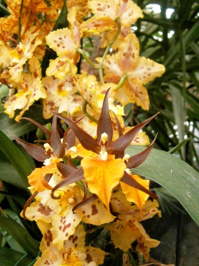 Orchideen-Ausstellungen aus aller Welt - Seite 3 Adaglo10
