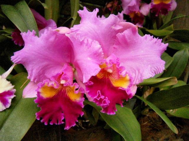 Orchideen-Ausstellungen aus aller Welt - Seite 3 Brasso10