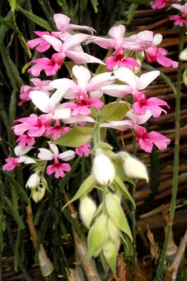Orchideen-Ausstellungen aus aller Welt - Seite 3 Calant10