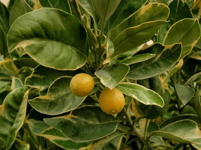 Citrus - alles über Orangen, Zitronen, Limetten, Kumquats: Aussaat, Stecklinge u.v.m. Citrus20