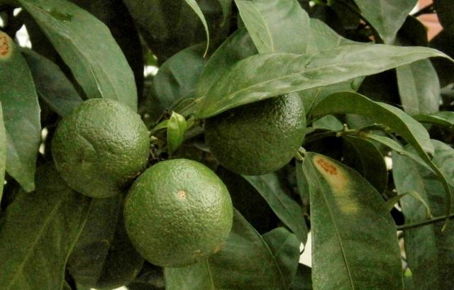 Citrus - alles über Orangen, Zitronen, Limetten, Kumquats: Aussaat, Stecklinge u.v.m. Citrus21