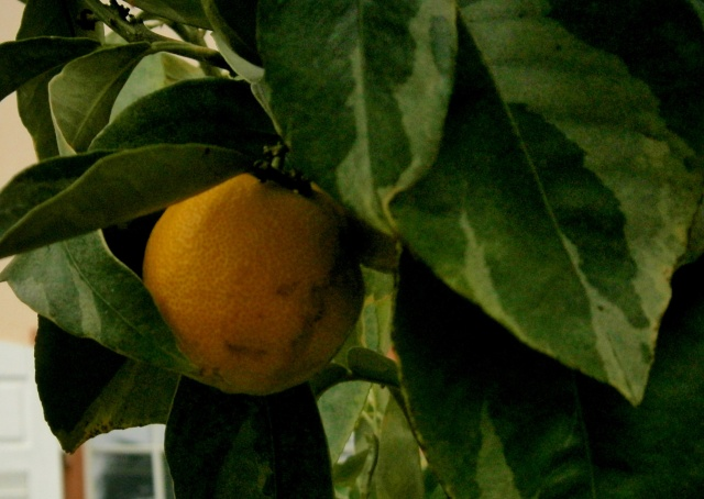Citrus - alles über Orangen, Zitronen, Limetten, Kumquats: Aussaat, Stecklinge u.v.m. Citrus24