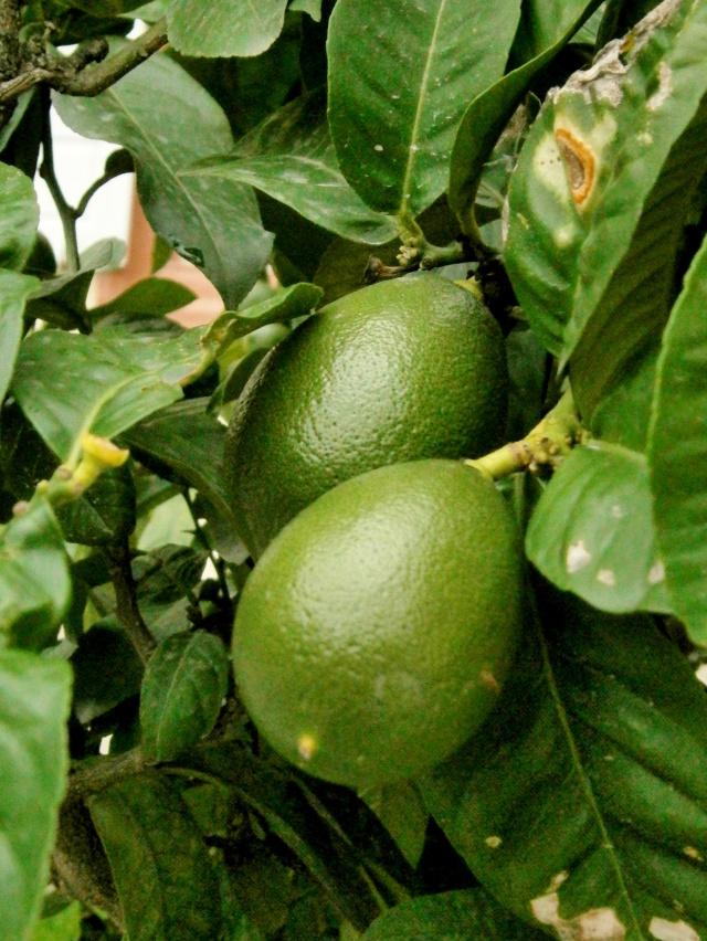 Citrus - alles über Orangen, Zitronen, Limetten, Kumquats: Aussaat, Stecklinge u.v.m. Citrus25