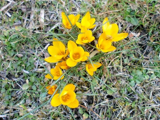 Schwertliliengewächse: Iris, Tigrida, Ixia, Sparaxis, Crocus, Freesia, Montbretie u.v.m. - Seite 2 Crocus13