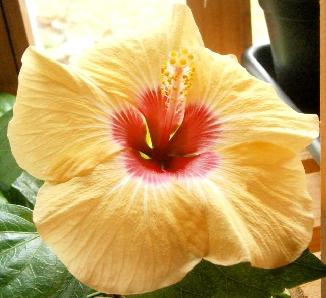 Hibiscus - alle Arten, Zuchtformen ... Erfahrungsberichte, Aussaat und selbstverständlich Bilder :) - Seite 4 Hibisc13