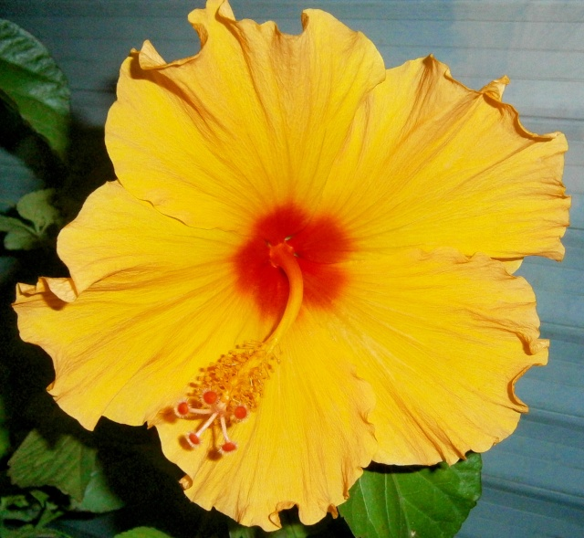 Hibiscus - alle Arten, Zuchtformen ... Erfahrungsberichte, Aussaat und selbstverständlich Bilder :) - Seite 4 Hibisc14