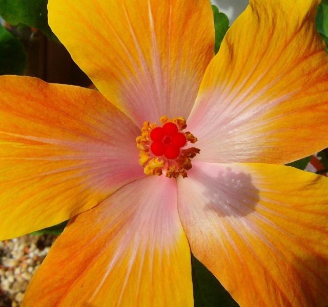 Hibiscus - alle Arten, Zuchtformen ... Erfahrungsberichte, Aussaat und selbstverständlich Bilder :) - Seite 4 Hibisc22