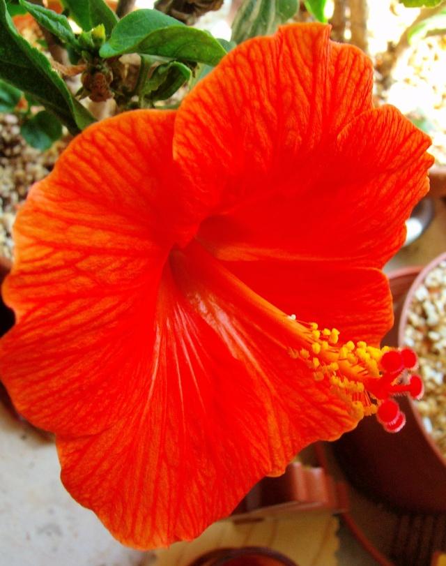 Hibiscus - alle Arten, Zuchtformen ... Erfahrungsberichte, Aussaat und selbstverständlich Bilder :) - Seite 4 Hibisc23