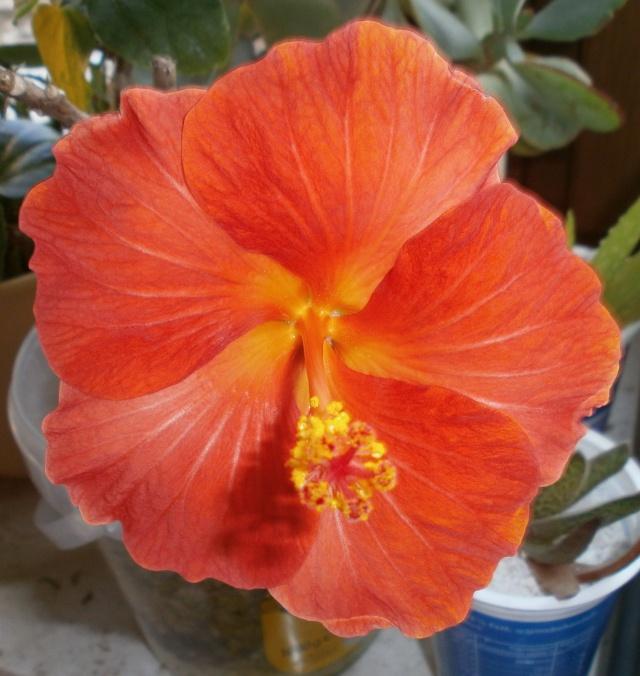 Hibiscus - alle Arten, Zuchtformen ... Erfahrungsberichte, Aussaat und selbstverständlich Bilder :) - Seite 4 Hibisc24