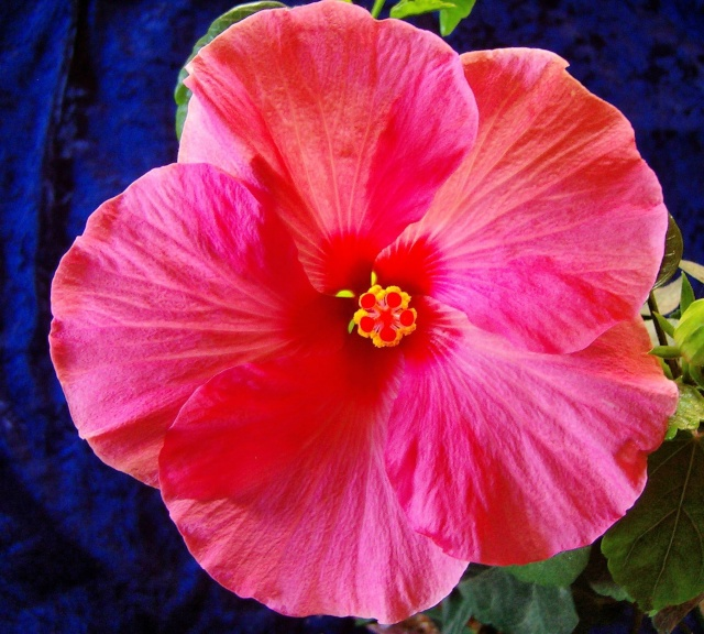 Hibiscus - alle Arten, Zuchtformen ... Erfahrungsberichte, Aussaat und selbstverständlich Bilder :) - Seite 4 Hibisc32