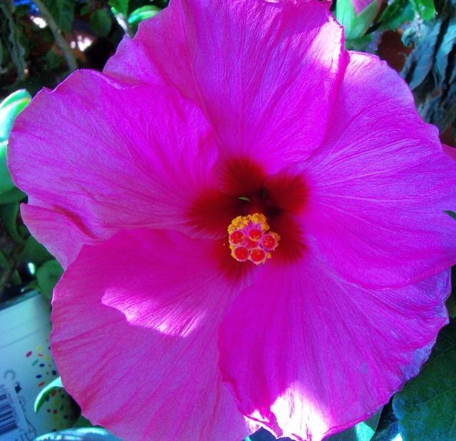 Hibiscus - alle Arten, Zuchtformen ... Erfahrungsberichte, Aussaat und selbstverständlich Bilder :) - Seite 4 Hibisc33