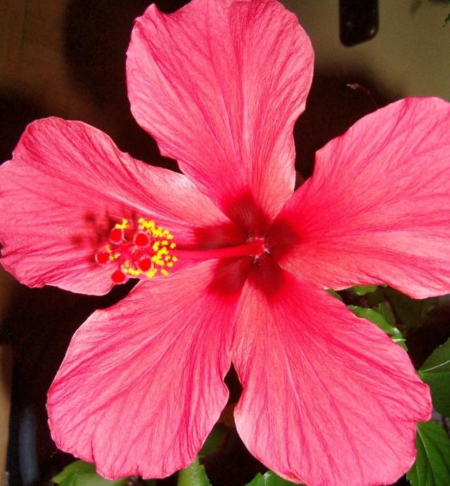 Hibiscus - alle Arten, Zuchtformen ... Erfahrungsberichte, Aussaat und selbstverständlich Bilder :) - Seite 4 Hibisc35