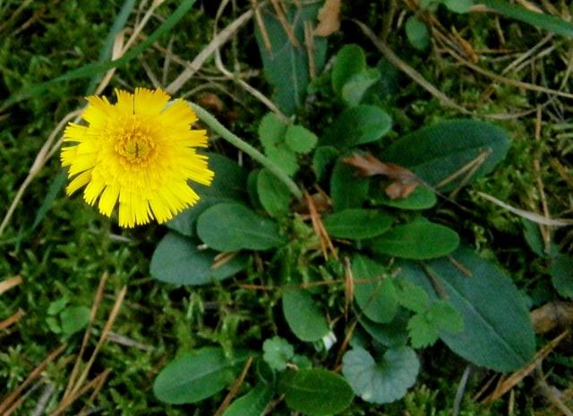 Wildblumen ( Sammelthread) - Seite 5 Hierac10