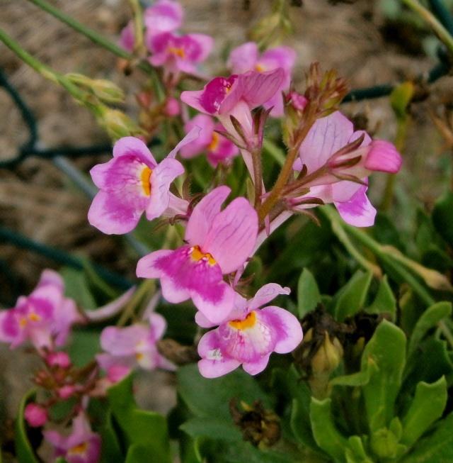 Wildblumen ( Sammelthread) - Seite 4 Linari10