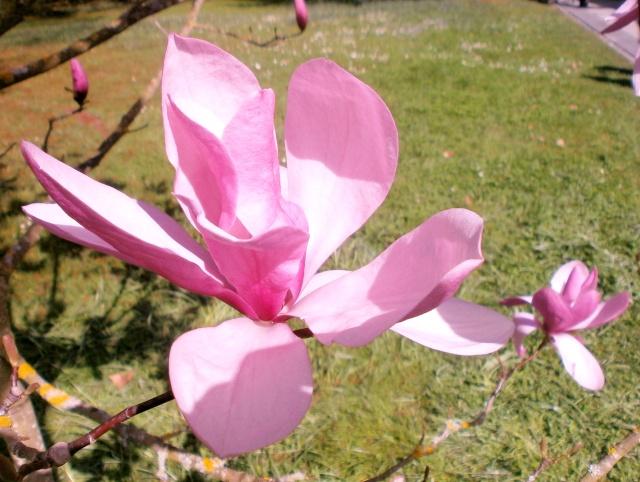 Magnolia - Magnolien - Seite 2 Magnol11