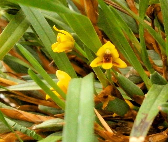 Orchideen-Ausstellungen aus aller Welt - Seite 3 Maxill10