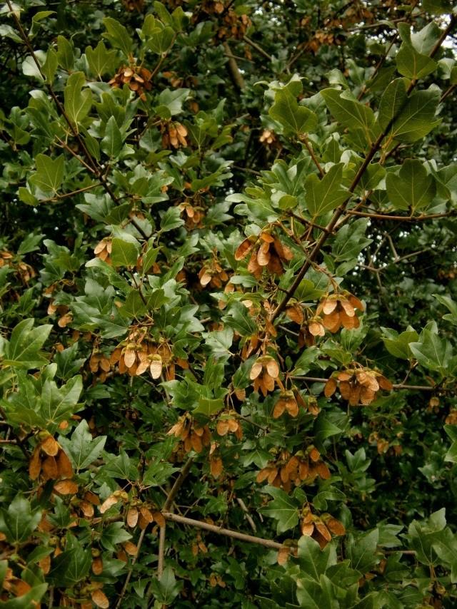 Seifenbaumgewächse (Sapindaceae) P9010210