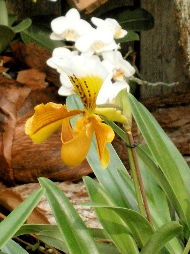 Orchideen-Ausstellungen aus aller Welt - Seite 2 Paphio10