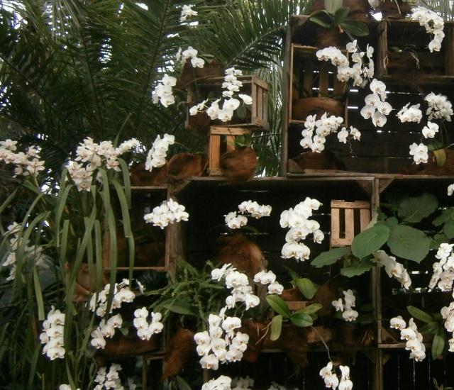 Orchideen-Ausstellungen aus aller Welt - Seite 2 Phalae16