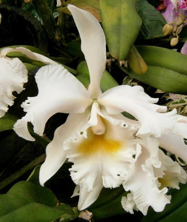 Orchideen-Ausstellungen aus aller Welt - Seite 3 Rhynch10