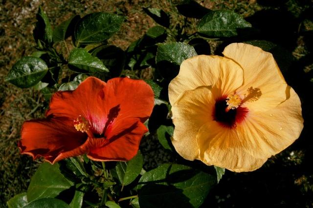 Hibiscus - alle Arten, Zuchtformen ... Erfahrungsberichte, Aussaat und selbstverständlich Bilder :) - Seite 4 Rosene10