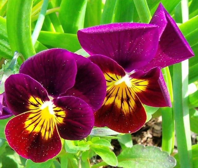 Viola - Veilchen aller Art - Seite 2 Viola_20