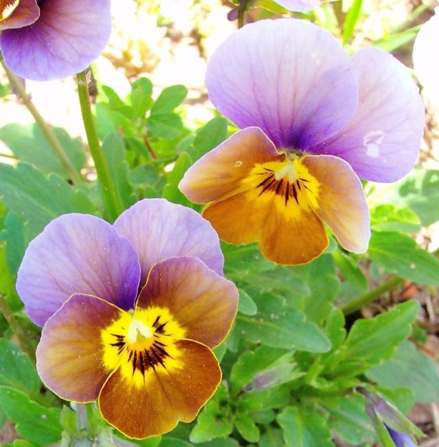 Viola - Veilchen aller Art - Seite 2 Viola_22