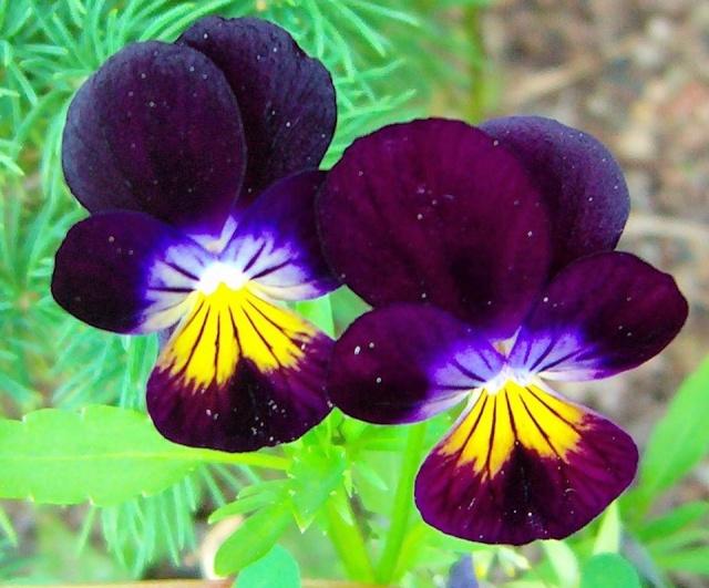 Viola - Veilchen aller Art - Seite 2 Viola_24