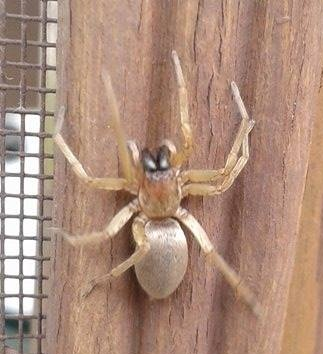 Which species of spider is this? 10268610