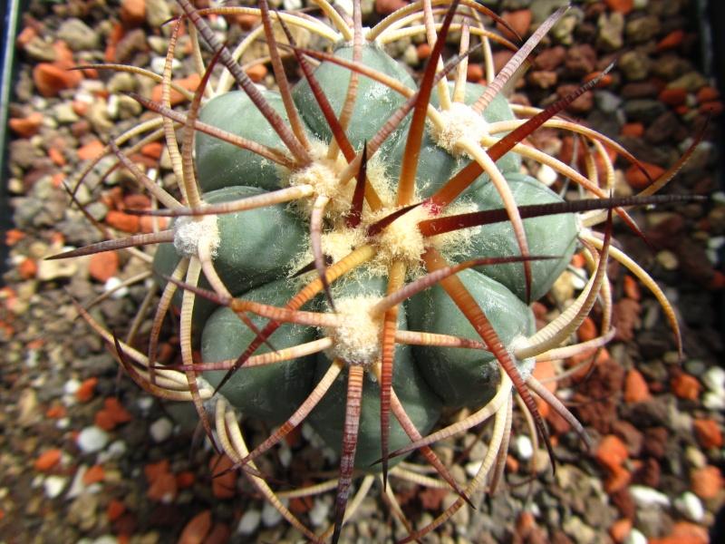 Echinocactus horizonthalonius Hotizo12