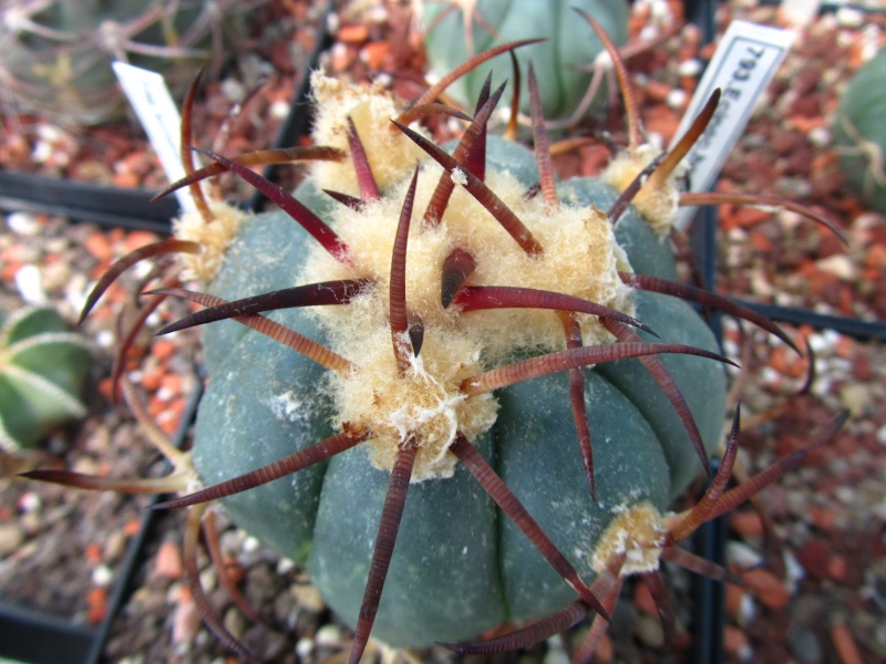 Echinocactus horizonthalonius Hotizo14