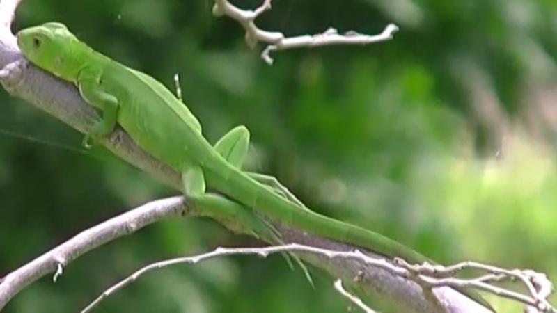 Bébé iguane 13906910