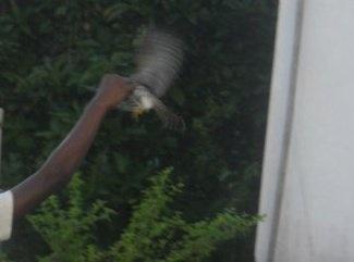 les faucons Image21