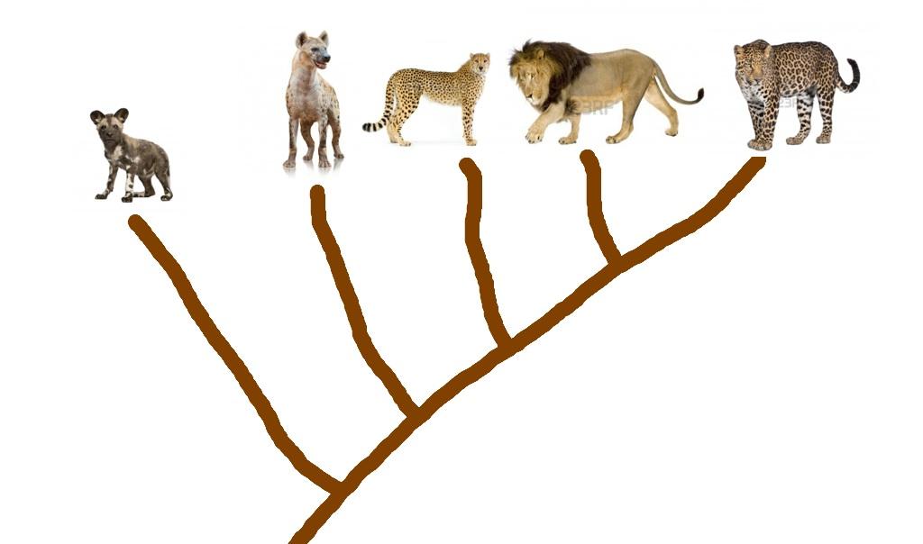 Arbre phylogenetique et genealogique des grands carnivores de la savane Image30