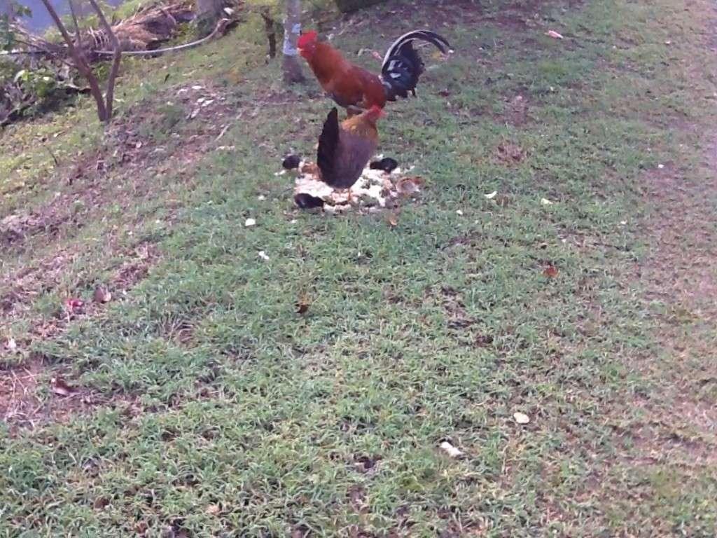 Une poule a eu 5 poussins Image35