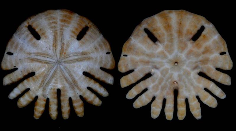 Clypeasteroida - Rotulidae - Rotula deciesdigitatus (Leske, 1778) Rotula10