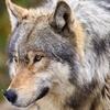 Loup Sauvage Anyagu10