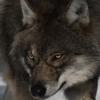 Les images des loups Dark_k10