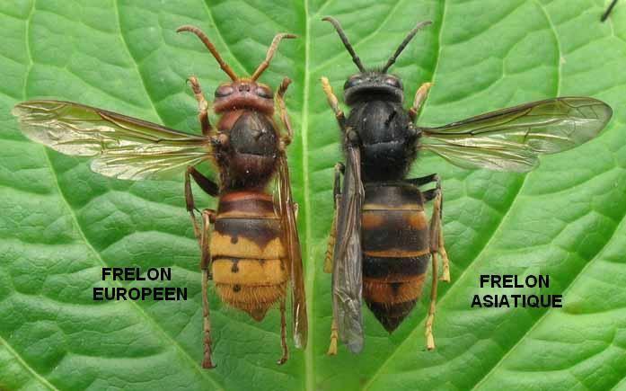 attention au frelon asiatique a ne pas confondre avec celui europeen 10153010