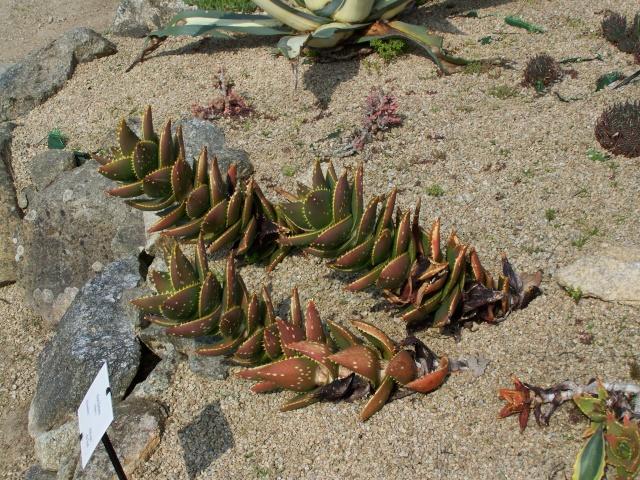 Aloe mitriformis Aloe_d10